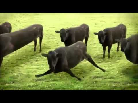 GELLIN' COWS...The Hilarious YouTube sensation now updated !