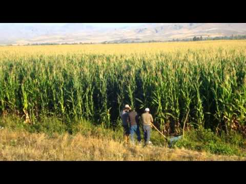 TRUVA mısır tohumu