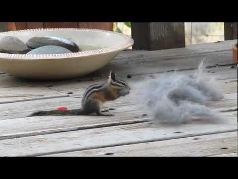 Least Chipmunk gathers rabbit fur for winter home