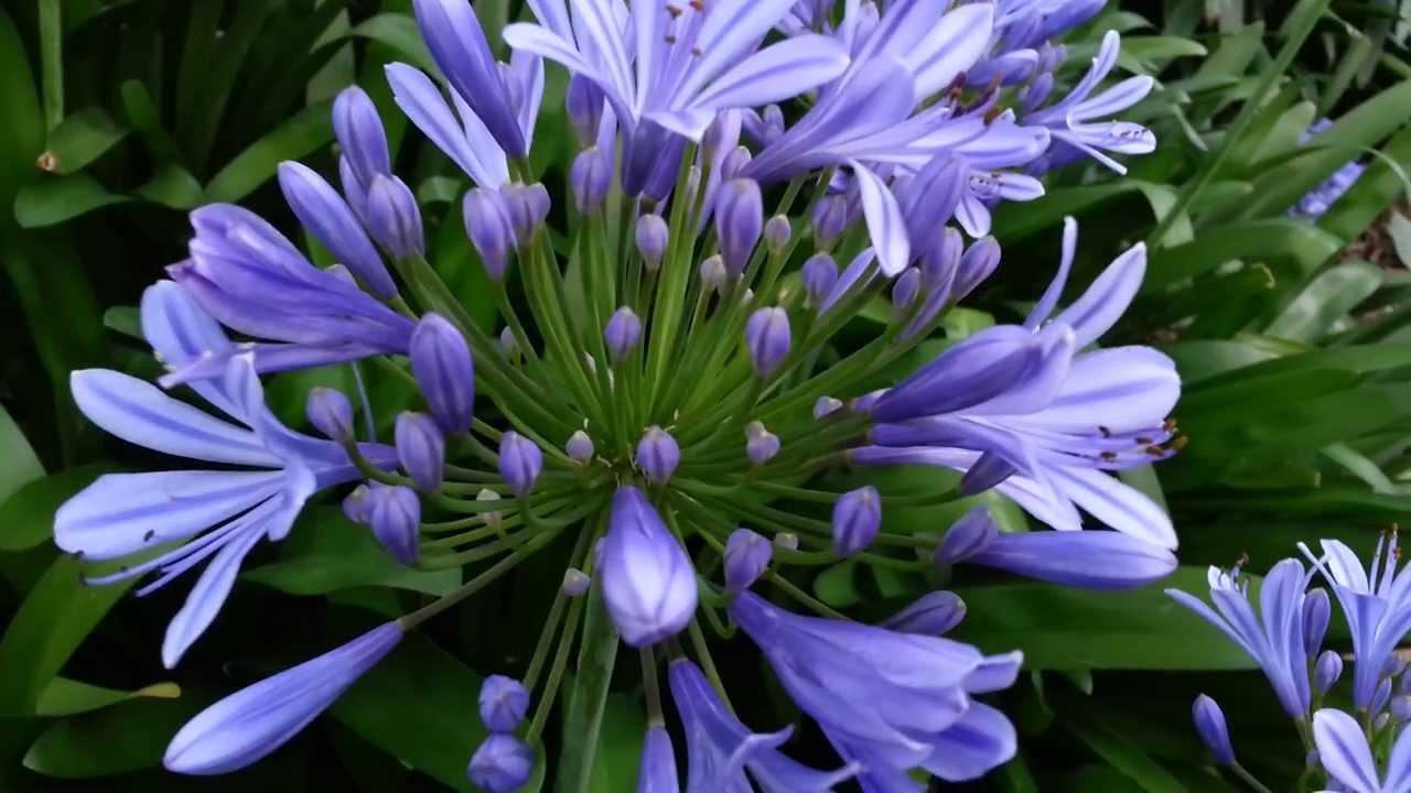 142 Фото цветка агапантус