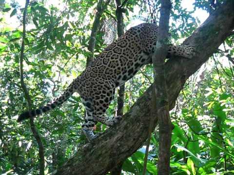 Jaguar Climbing Katie The Jaguar Climbing