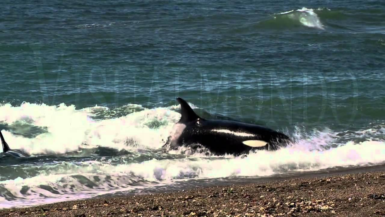 Orca whale attack