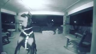 Can Your Dog Ring the Doorbell? - Funny Dog Video Caught on Camera