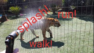 When tigers run at full speed !