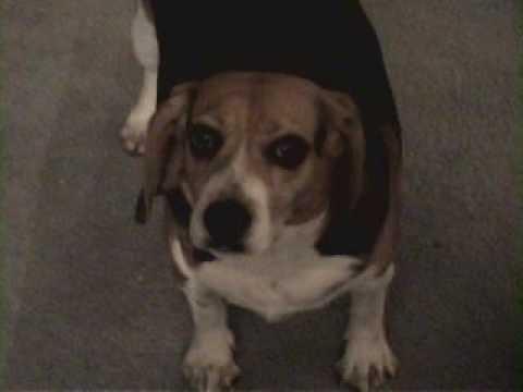 chubby beagle barking   youtube