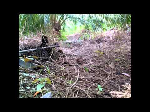 Ayam Hutan Pikat Betina 15 video