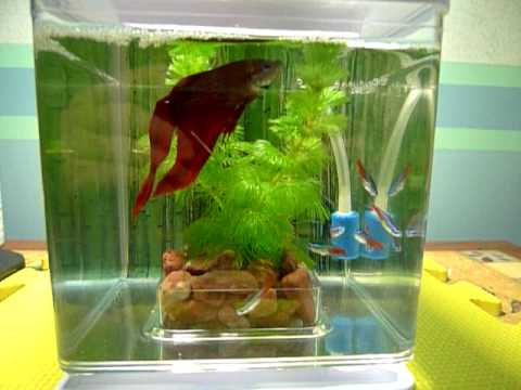 Betta fish and neon tetra youtube for Neon fish tank