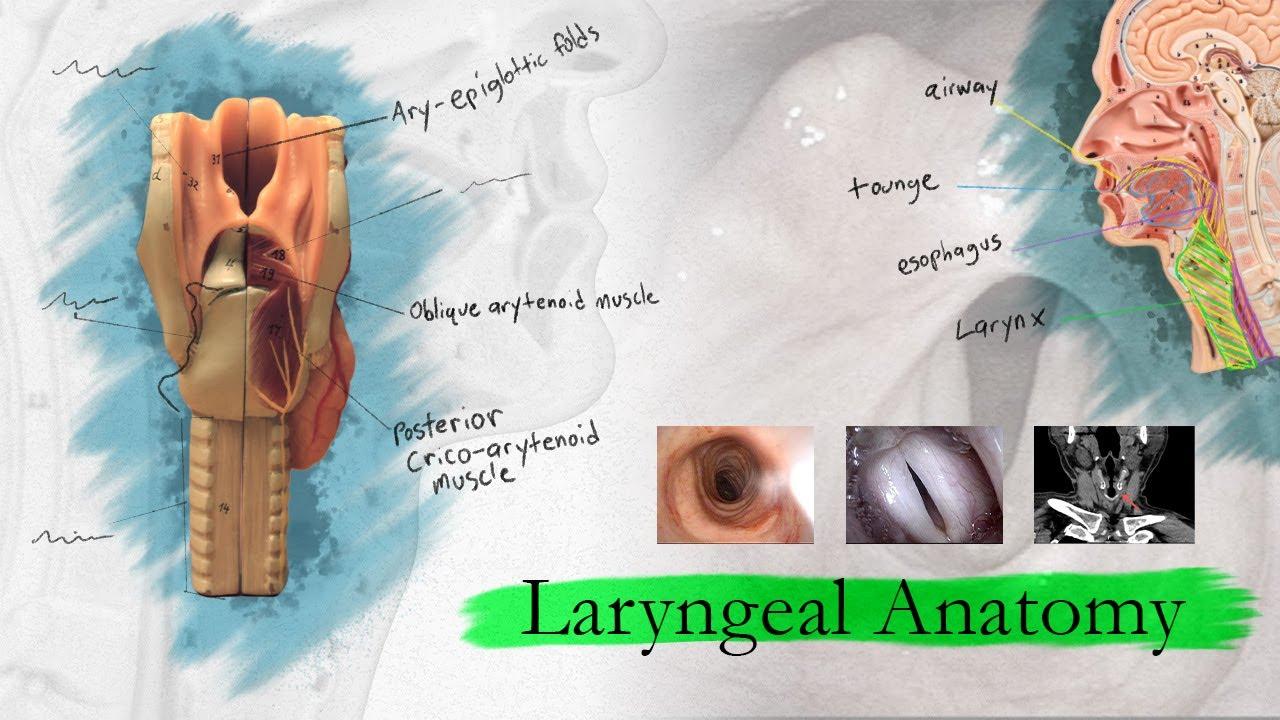 Introduction To Larynx Pharynx And Airway Anatomy Youtube