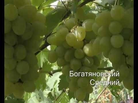 Виноград 2011 http://vevgarden.com