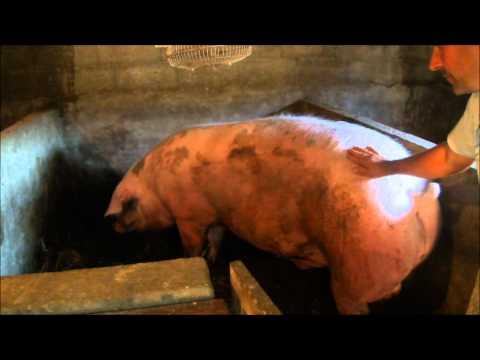 Maior Porco em Penafiel