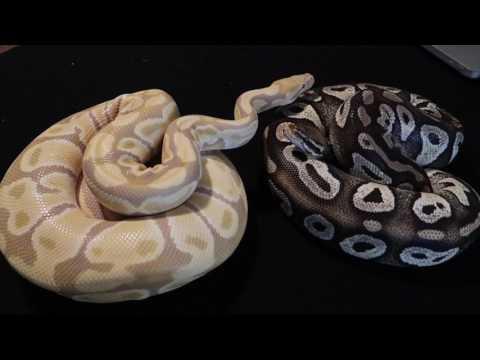 ball python missing package ! damn fedex