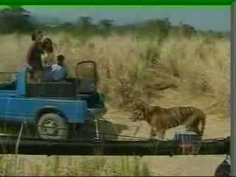 Hindi Tiger Attack While Filming(KAAL-DHAMAAL)