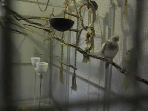 Der Papagei - ++ Nymphensittiche ++ *** Laut oder Ruhige Tiere? ***
