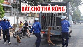 Đội bắt chó ra quân, dùng thòng lọng bắt gọn nhiều chó thả rông