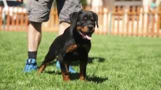 FIVE THINGS YOU SHOULD KNOW ABOUT ROTTWEILERS