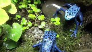 Blue Poison Arrow Frogs (dendrobates azureus) eating fruit flies