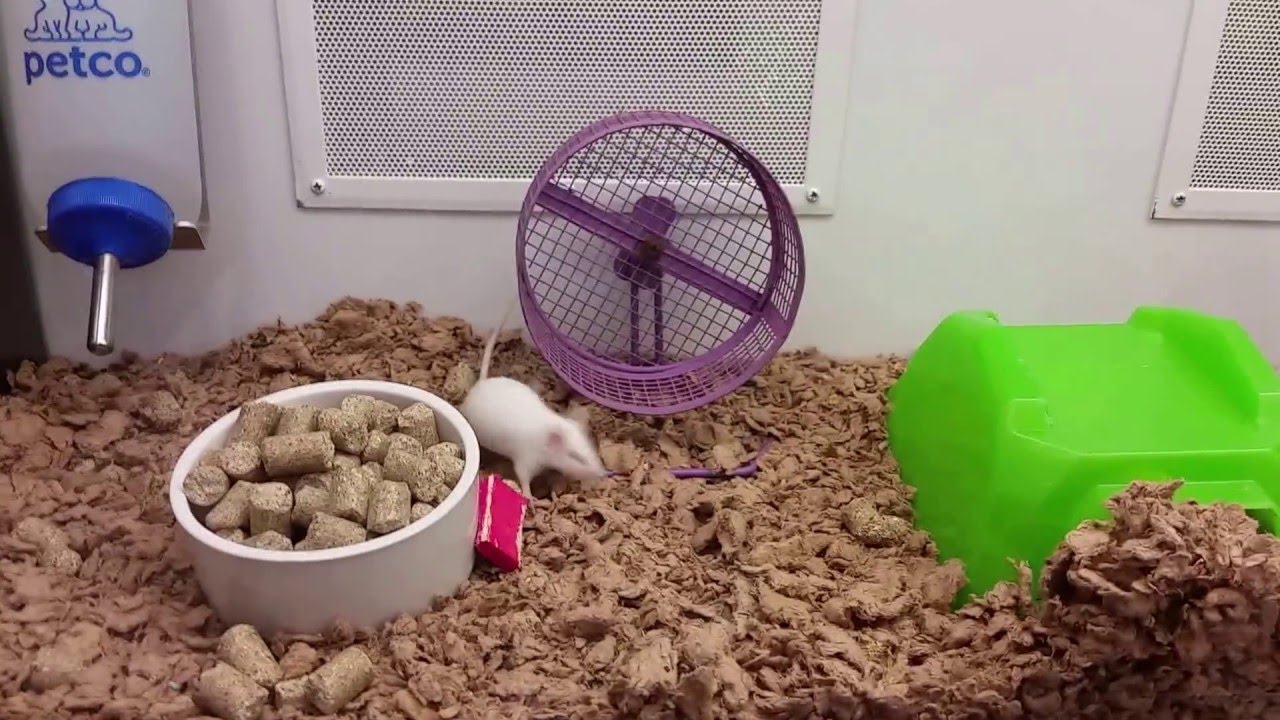 This Rebellious Mouse Refuses To Do What's Expected