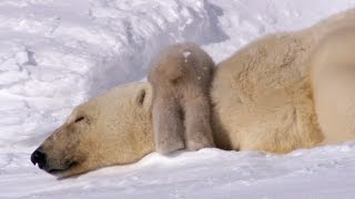 Polar Bear Cubs Take Their First Tentative Steps - Planet Earth - BBC Earth