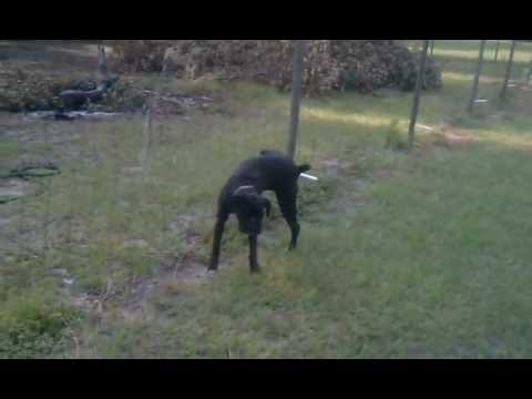 Dog pees on electric fence
