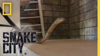 Cobra Tug Of War | Snake City