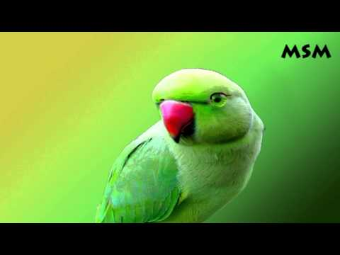 Chitti Chilakamma By Parrot video