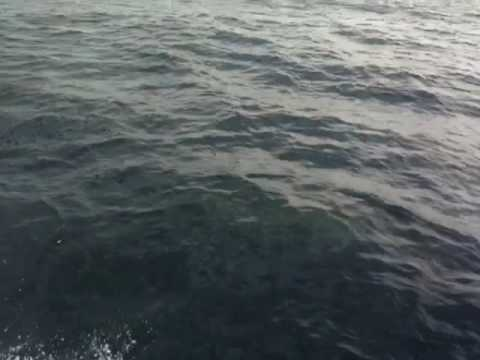 Bottlenose Dolphins / Porpoises Jumping and Playing with us out of Port O'Connor, TX,