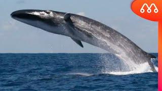 Qual é o maior animal do mundo