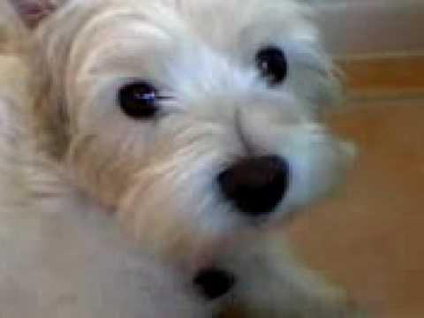 West Highland White terrier (westie) Video