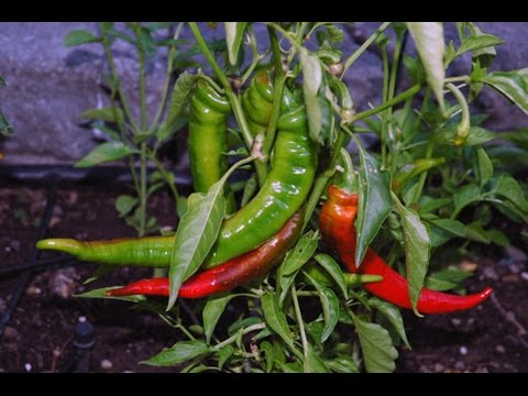 Successfully growing pepper plants from seeds series - Part 1 - Successfully Germinating Pepper Seed