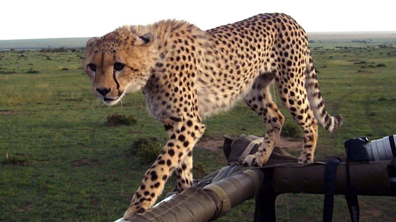 好帥的獵豹!看完這支影片你可能對獵豹的帥度改觀