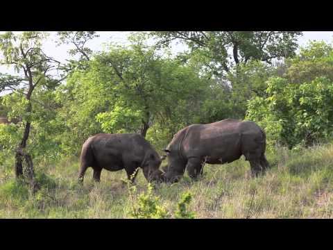 Black Rhino Playing with White Rhino 01