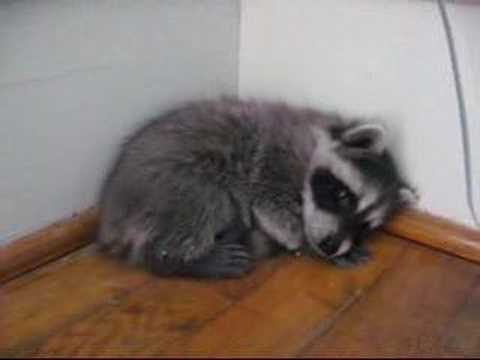 Baby raccoon takes a nap - YouTube Raccoons As Pets
