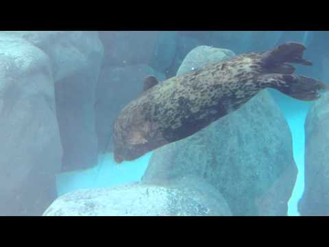 Virginia Aquarium Harbor Seals Homecoming