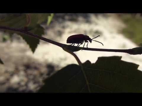 Lily beetle - Lilioceris lilii -  Liljubjalla  puntar sig  - Skordýr