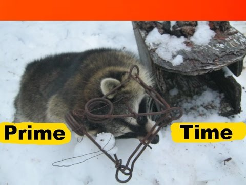 Trapping Winter Raccoons.