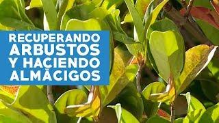 ¿Cómo recuperar arbustos, eliminar oídio en rosas y hacer almácigos de otoño?