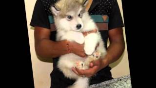 Alaskan Malamute puppies in Egypt