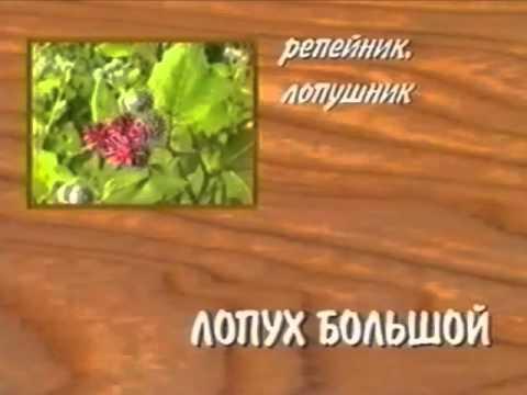 4. Лечебные растения девясил, дуб, ежевика, зверобой, лук.