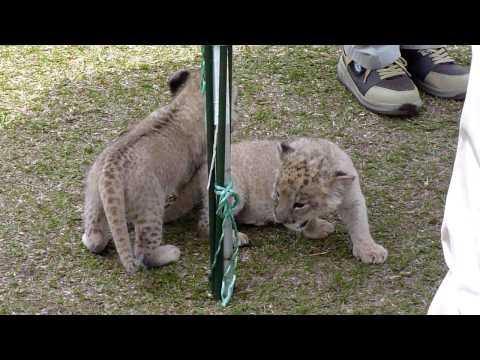 ライオンの赤ちゃん in フェニックス自然動物園 2010.5.5 part 2