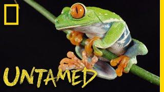 Red-Eyed Tree Frog | Untamed