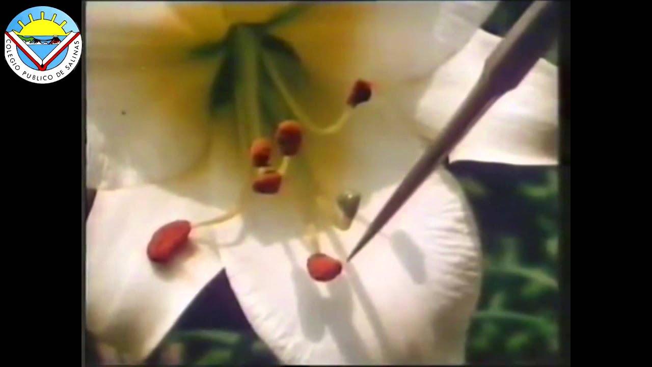 Reproduccion de las plantas con flores youtube - Plantas de interior con flor ...