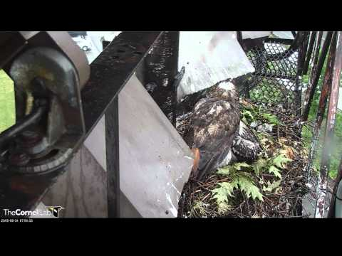 20150531_7:48 AM_CURTH_Soggy Bird Delivery by Ez, BR Absconds With & Then Returns with it