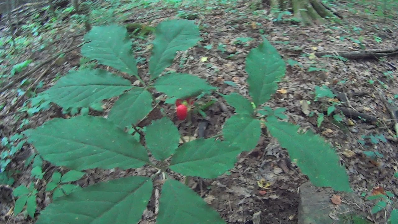 Wild Ginseng Plant How to Find Wild Ginseng