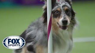 犬の敏捷性(マスターズ・アジリティ選手権)で優勝したオーストラリアンシェパード犬