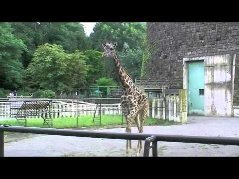 マサイキリンのナナコ(円山動物園)