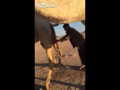 Saudi boy drinking Fresh camel urine