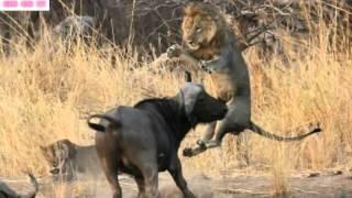 Th  Gi  I   Ng V  T Hoang D  Cu  C Chi  N Sinh T  Gi  A Tr U V  S  T  Lion Vs Buffalo