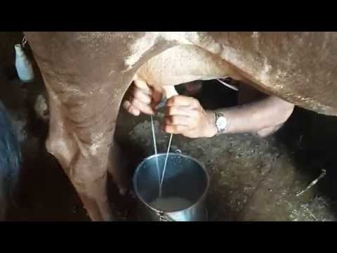 Skilled Hands !!! Milking A Cow video
