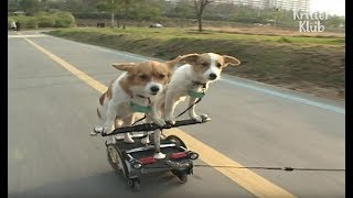 Inline Skating Dog Has A Partner In Crime? | Kritter Klub