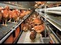 Implementación de la Bioseguridad en Granjas Avicolas - TvAgro por Juan Gonzalo Angel